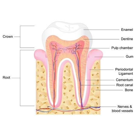 tooth enamel anatomy and how soda could affect tooth enamel loss